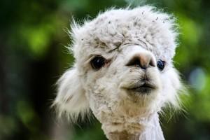 alpaca-3430815__340