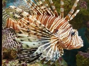 lionfish-53988__340