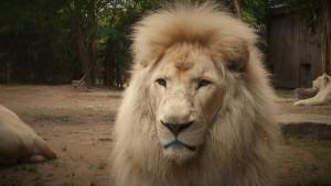 lion-2124121__340