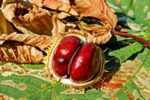 chestnut-2740751__340
