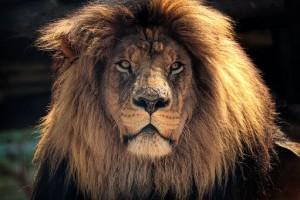 lion-2793122__340