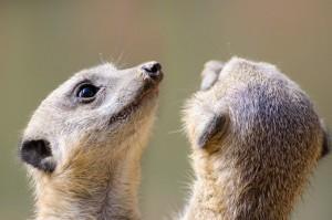 meerkat-316736__340